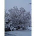 snow willow tree