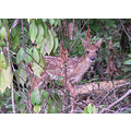 Nature White Tail Deer Fawn