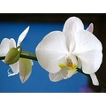 orchid flower white nature blue