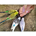 budgie pedicure