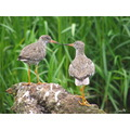 redshank bird nature wildlife