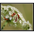 flower bug bugs insects cardinal beatle beatles somerset somersetdreams