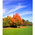 sugar maple tree maple autumn fall landscape outstanding tree