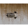 ShutterlySpectacularPhotography RidgefieldWildlifeRefuge NorthernPintail Duck