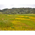 serpentinefph spring wildflowers meadow goldfields poppies hills