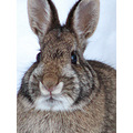 bunny rabbit cottontail nature critter