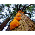 orange fungi hemlock tree