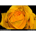 stlouis missouri usa spring flower rose orange 040911