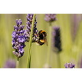 Lavender Bee Bumblebee Insect Nature Plant Macro Flower