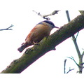 nuthatch bird nature wildlife