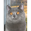 autumn british shorthair cat compautumn07
