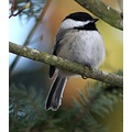 Chickadee Blackcapped Burnaby BC Canada