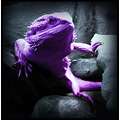 purplebeardeddragon