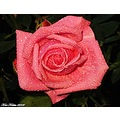 Pink rose corall New Dawn July 2009 Skane Sweden My Garden