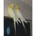 cockatiel bird pets
