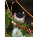 Oregon Junco Darkeyed Burnaby BC Canada