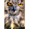 'Eagle Owl': detail of an eagle owl on display at a local Farm Open Day.