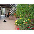 socks cat garden terrace flowers alora andalucia spain milibuhscatclub