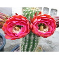 Cactus Blooming Flower jdahi64