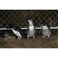 I get to see these little blue penguins 2 or 3 nights a week these days and just love them and th...