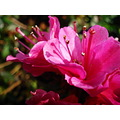 Nature gillards macro plant flower growth pink buds stalk petals stamen rose