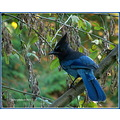 nature bird stellars jay