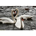 swans water nature wildlife