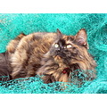 Pets Cats Maine Coon Animals Feline Moggy