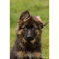 dog dogs German Shepherd