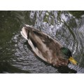 duck swimming lake look beak england
