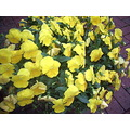 yellow pansies