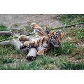 tiger tacoma zoo washington newborn