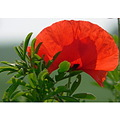 FIELDPOPPY flower