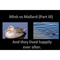 mink mallard eat Lake fight Burnaby BC Canada nature cruel
