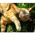 cat sun ginger cute grass