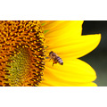 sunflower bee summer nature macro