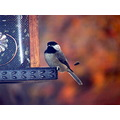 chickadee birds