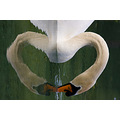 SWAN LOVE !