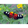 postman butterfly wildlife nature