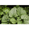 nature flower plant brunnera garden