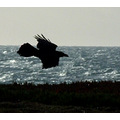 Raven in Silhouette against the sea