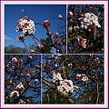 viburnum white pink blossoms collage