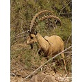 In his full glory... Male Ibex  End of series