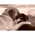 Sepia animals pets friendship dogs
