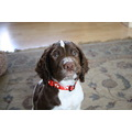 Springer Spaniel Dog English