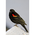RedWinged Blackbird Agelaius phoeniceus frost Birds Burnaby