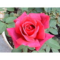 Chrysler Imperial Rose Red Flower Bloom Roses Garden Gardens Plants Moofygirl