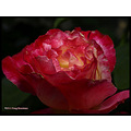 flower rose doubledelight