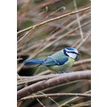bluetit feathers birds flying gardenbird wildbird carlsbirdclub nature