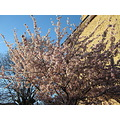 Cherry Blossom Tree Thicket Road Penge Anerley Spring Vincent 2013